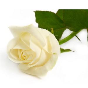 white rose poem